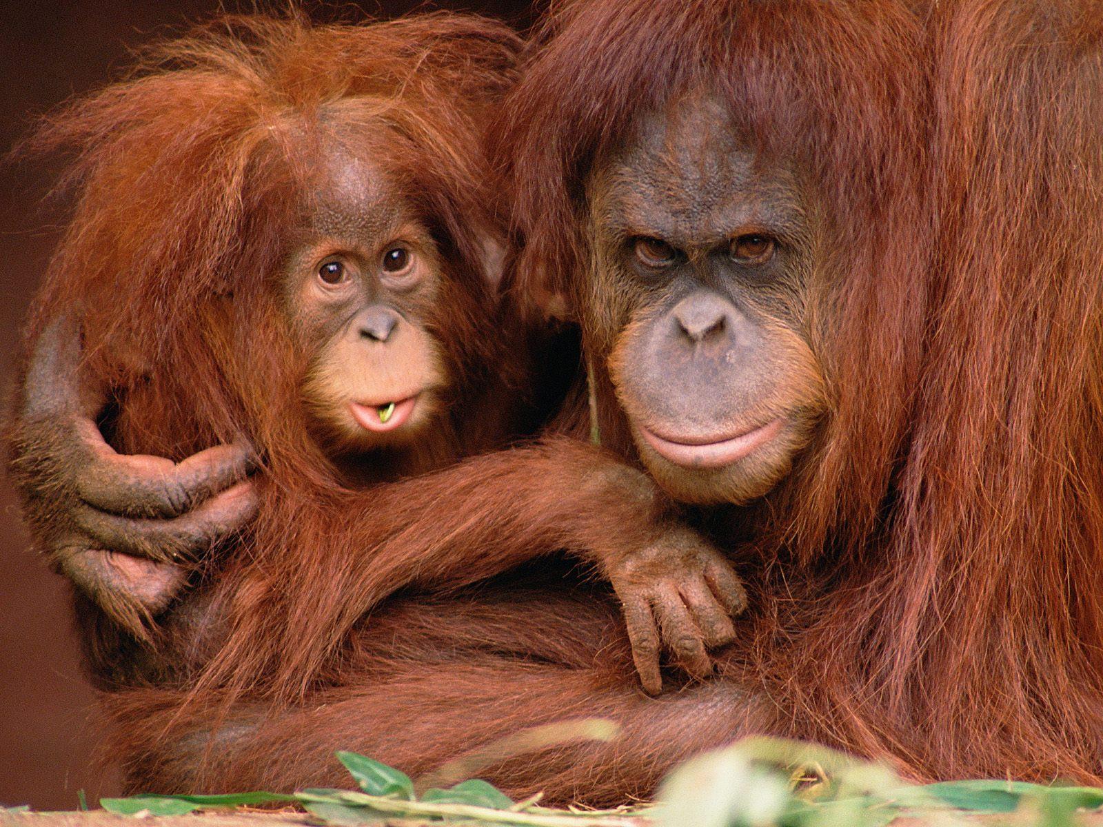 Картинки двух обезьян смешные
