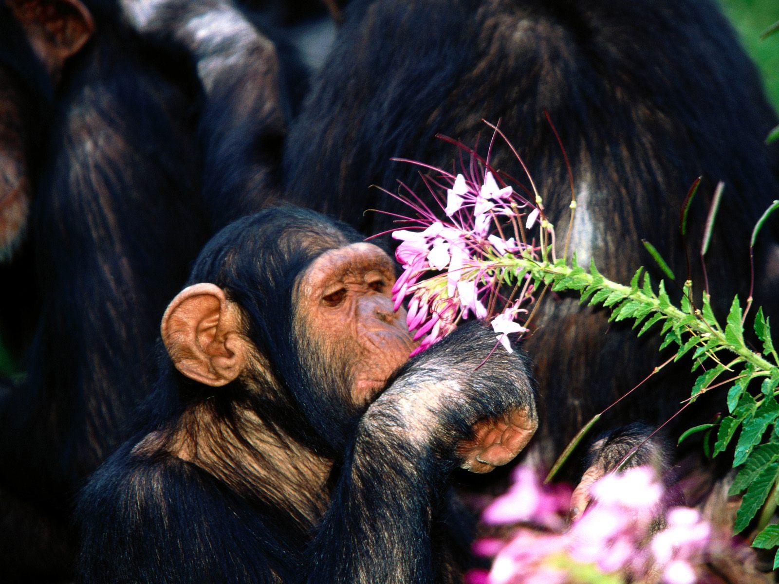 Обезьяна и цветы картинки