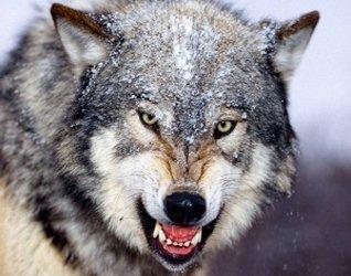 Картинки волков