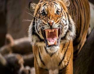 Картинки тигров