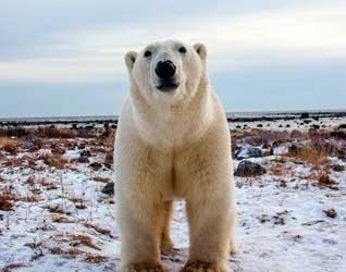 Белый медведь картинки