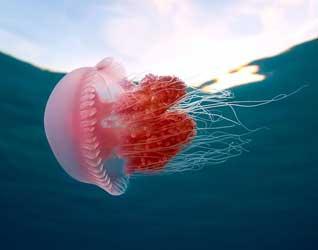 Медуза картинки